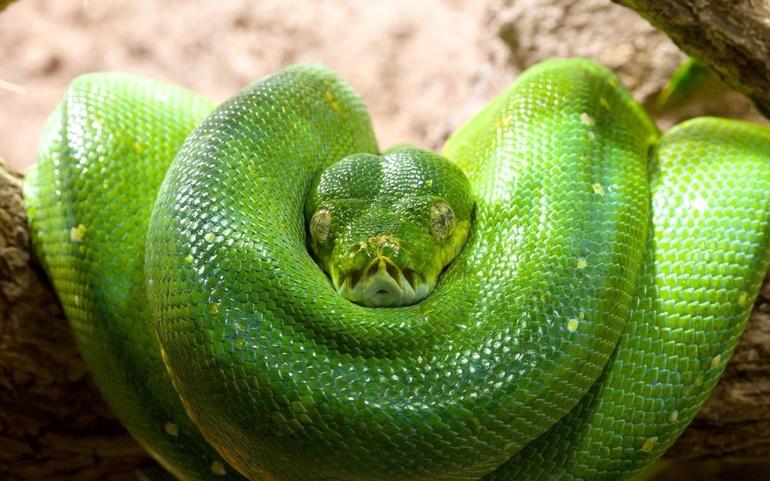 К чему снится маленькая зеленая змея