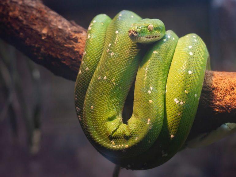 К чему приснилась змея женщине