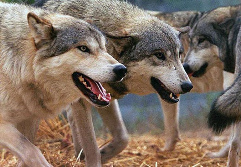 Нападение волков во сне