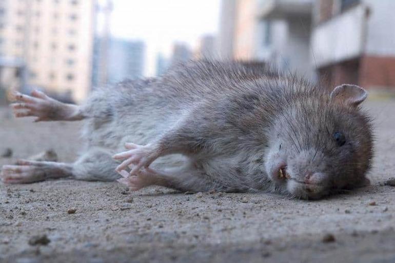К чему снятся дохлые крысы мужчине и женщине