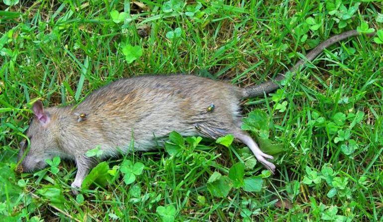 Дохлая крыса во сне