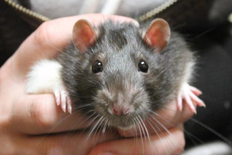Видеть во сне много крыс