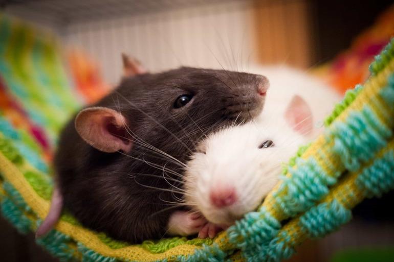 Значение сна про крысу