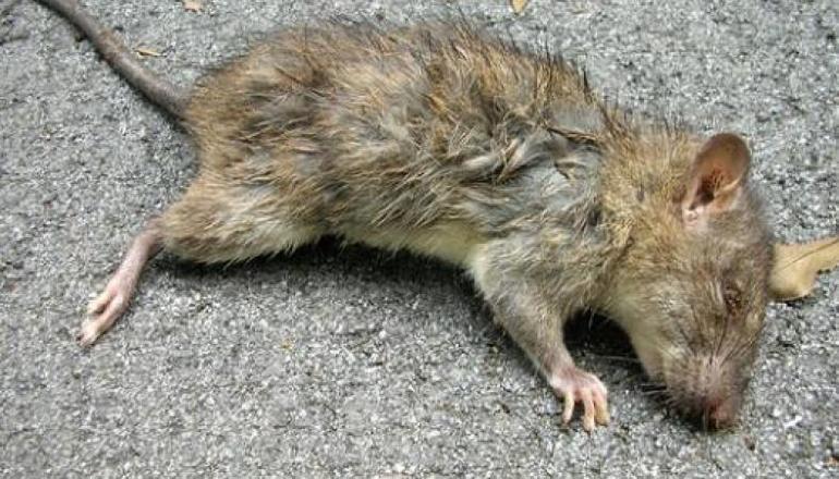 Символ крыса во сне