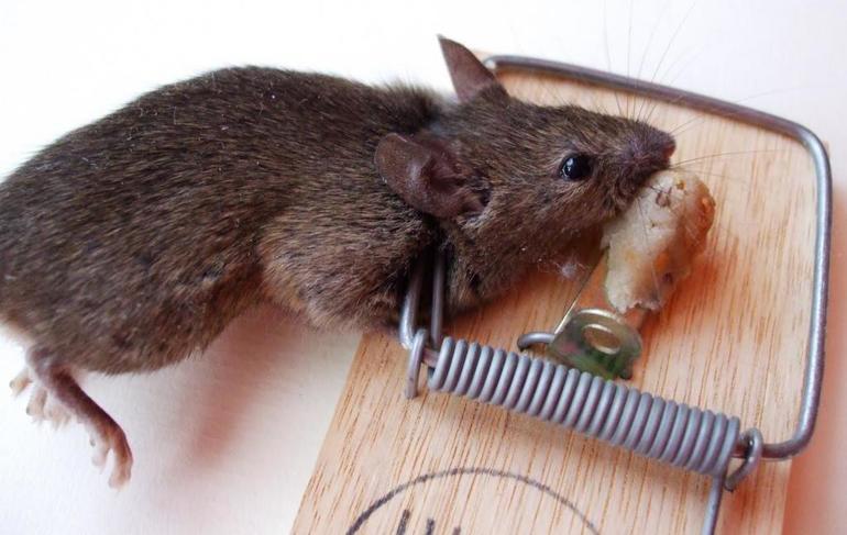 Как узнать значение сна про крысу