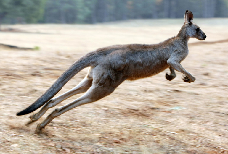 Видеть во сне кенгуру с кенгуренком thumbnail
