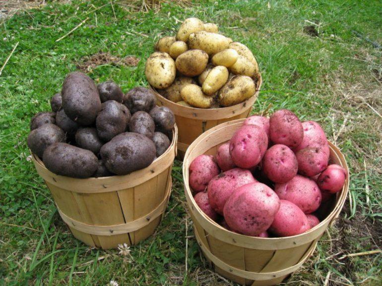 Картофель разных цветов