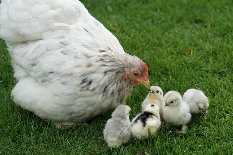 Белая курица, увиденная во сне,