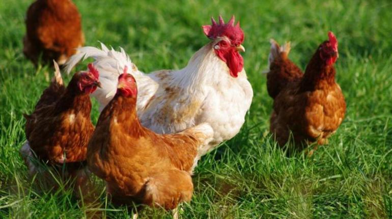 Если приснился петух с несколькими курицами,