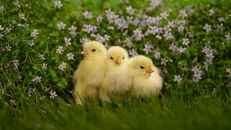 Сны с цыплятами