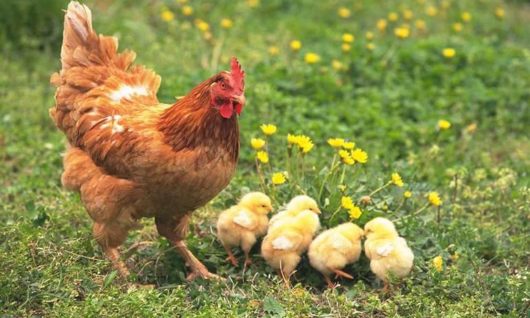 Наседка с птенцами копошится в траве