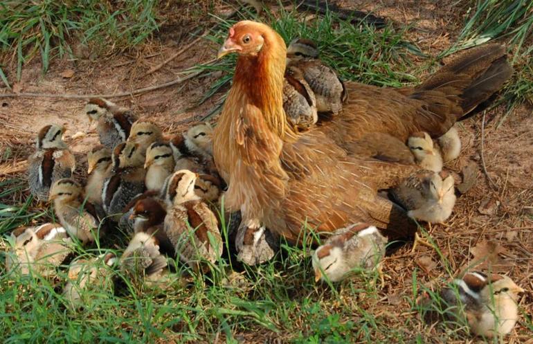 К чему снится цыплята куры во сне thumbnail