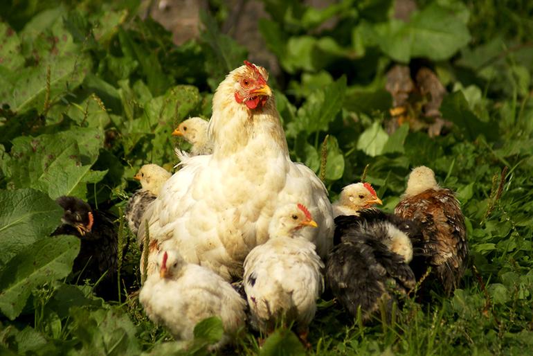 Курица с цыплятами — знак скорой неожиданной прибыли.