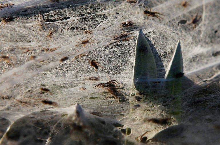 Множество пауков,