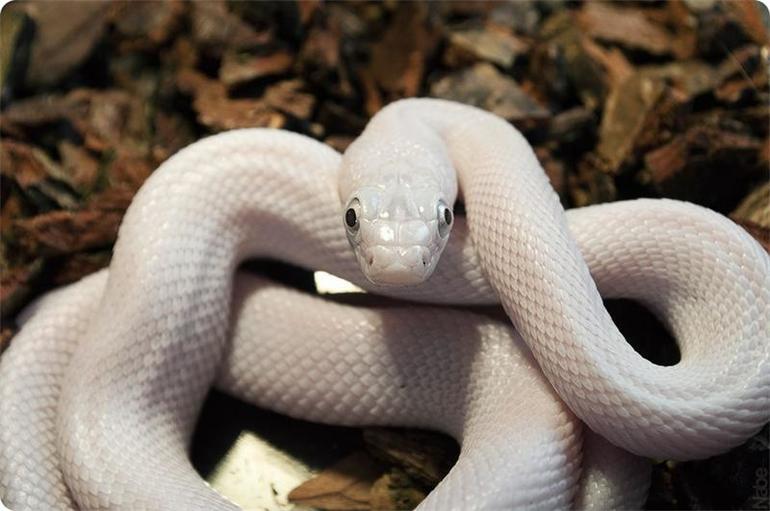 Как считает сонник миллера, змея, увиденная во сне, является предвестником столкновения со злостью окружающих.