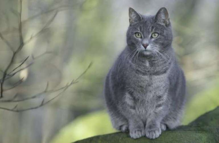 Сонник серая кошка