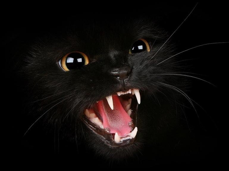 Хищная черная кошка