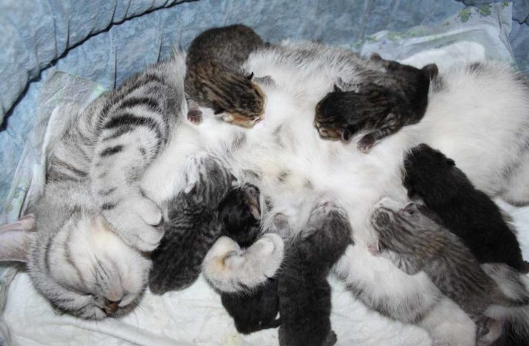 Сонник кошка родила котят