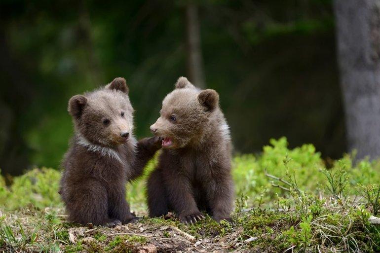 Медвежата в сновидении