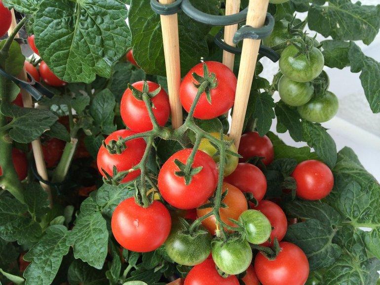 Сонник собирать помидоры