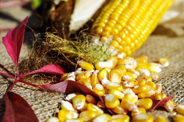 Сонник кукуруза в початках