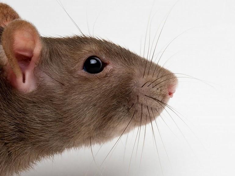 Крыса во сне, значение