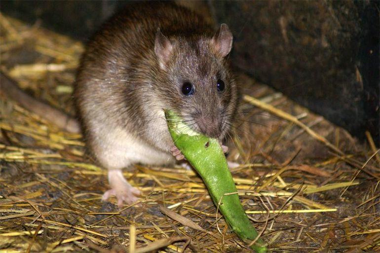 Видеть во сне крысу