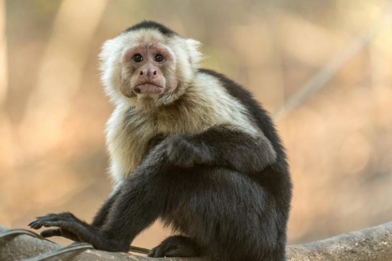 Сонник обезьяна маленькая
