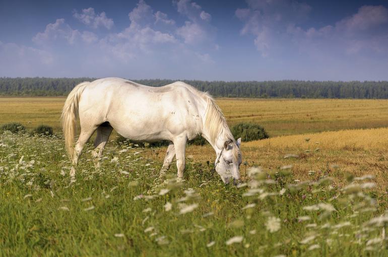 Белая лошадь пасётся на лугу в сновидении