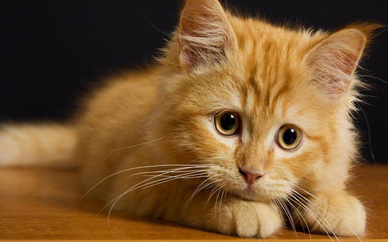 К чему снится рыжий котенок женщине