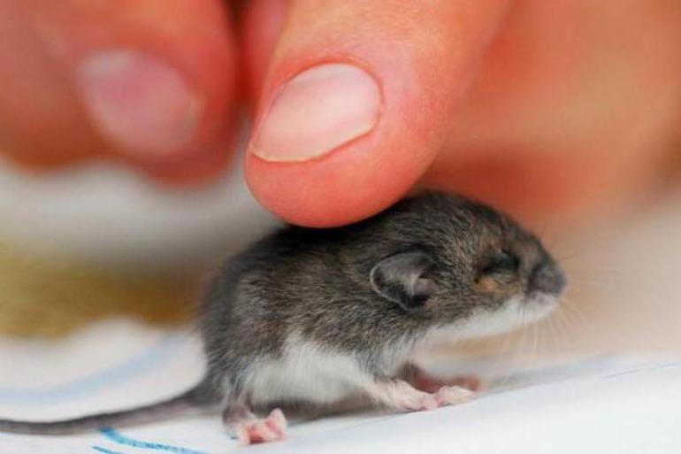 К чему снятся маленькие мыши: толкование по сонникам