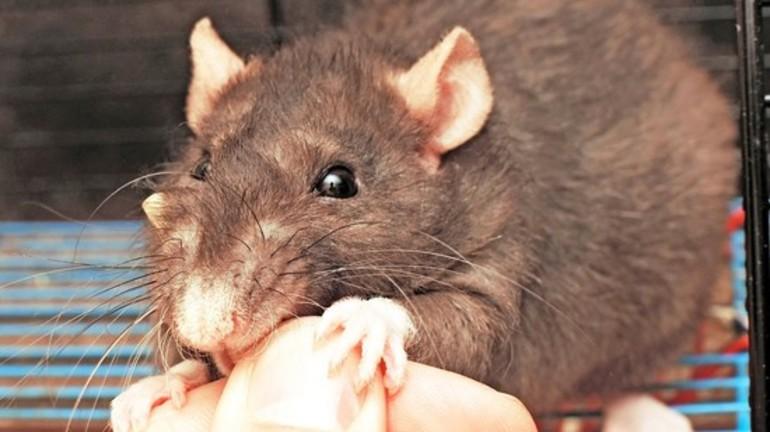 Во сне укусила крыса