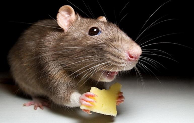 Мышь кушает сыр