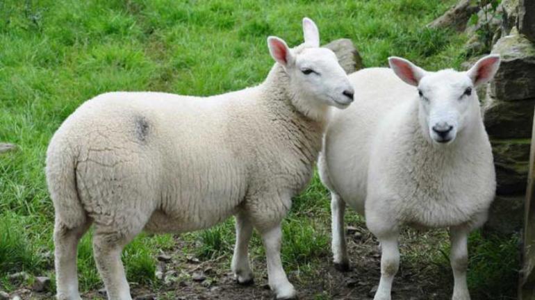 Белые овцы во сне