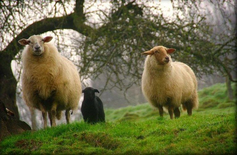 к чему снятся овцы и бараны