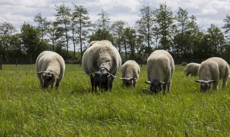 к чему снится стадо овец