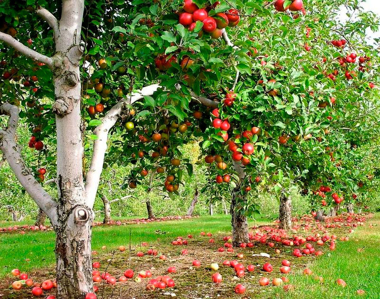 К чему может присниться много яблок на яблоне в цветущем ...