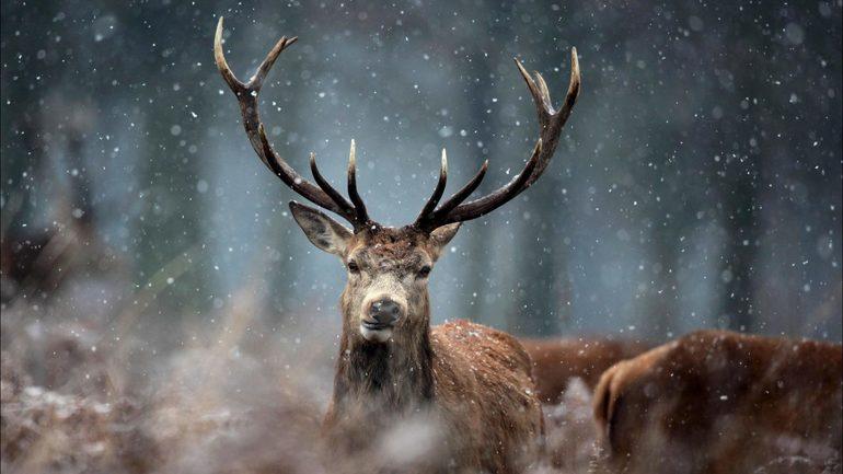 Эзотерическое толкование снов об олене