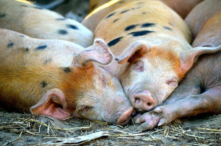 К чему снятся свиньи и поросята много