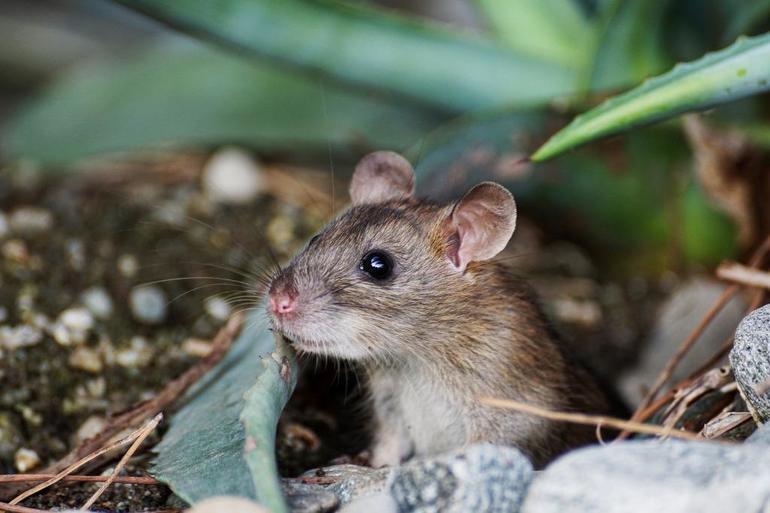 К чему снится мышь серая маленькая живая