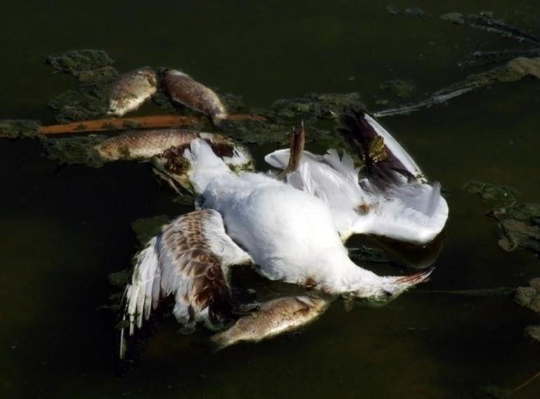Мертвыая птица в воде