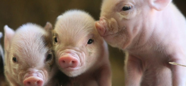 К чему снится свинья - значение сновидения для женщины