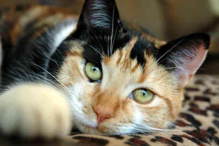 К чему снится трехцветная кошка сонник
