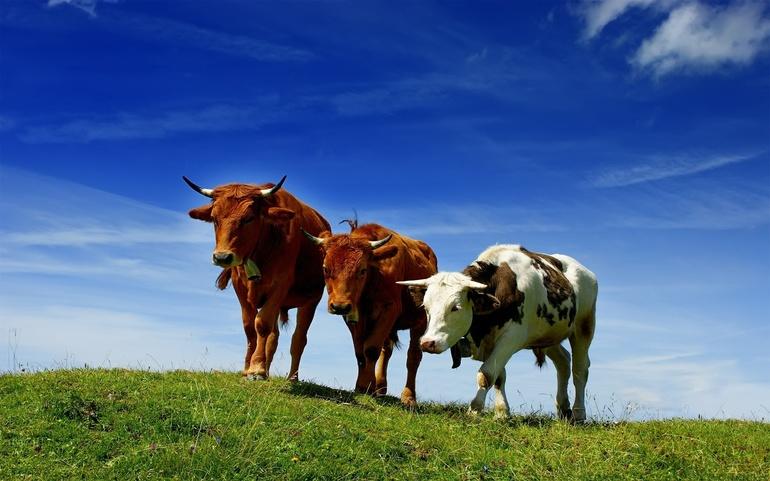 К чему снятся коровы и быки сонник