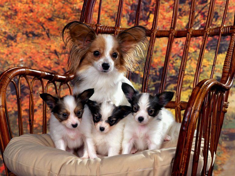 К чему снится собака с щенками