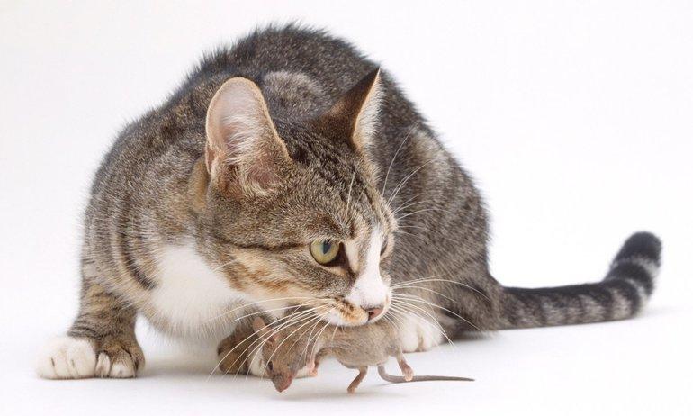 Сонник кошка поймала мышь