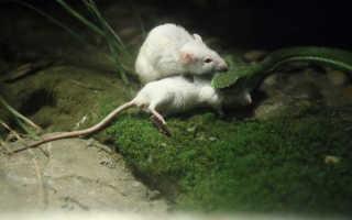 К чему снятся белые или серые дохлые мыши и крысы