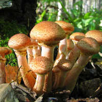 К чему снятся опята и другие грибы: трактовка сонников