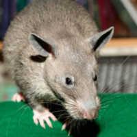 К чему снится большая крыса: толкования сонников
