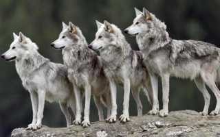 К чему снится стая волков: толкования и значения по сонникам